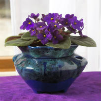 picture of violets as house plant