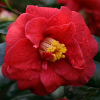 picture of Camellia 'Adolphe Audusson'