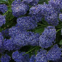 picture of Ceanothus 'Italian Skies'