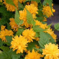 picture of Kerria japonica 'Pleniflora'