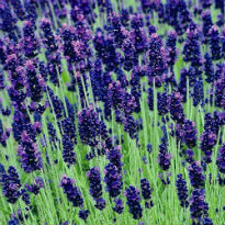 picture of Lavandula 'Hidcote'