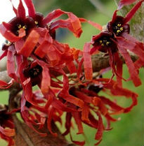 picture of Hamamelis intermedia 'Diane'