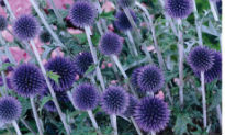 picture of Echinops
