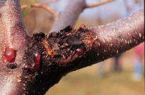 picture of apple canker