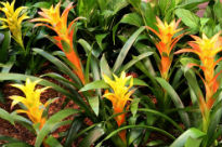 picture of Bromeliad