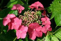 picture of H. macrophylla 'Geoffrey Chadburn'