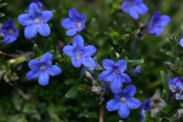 picture of Lithodora (Gromwell)