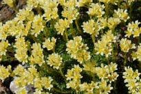 picture of Saxifraga apiculata (Saxifrage)