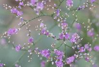 picture of Limonium latifolium
