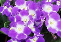 picture of African Violets