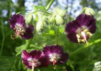picture of Geranium phaeum
