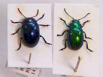 picture of green mint beetle and blue mint beetle
