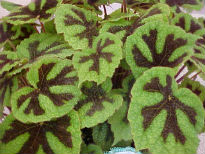 picture of Iron Cross Begonia (Begonia masoniana)