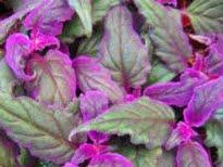 picture of Purple Passion (Gynura aurantiaca)