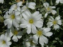 picture of Cerastium (Snow-in-summer)