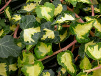 picture of Hedera helix