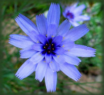 picture of Catananche