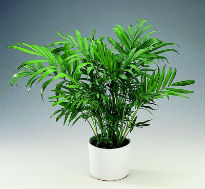 picture of Parlour Palm (Chamaedorea elegans)