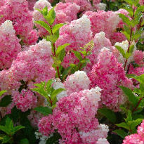 picture of H. paniculata 'Vanille Fraise'