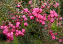picture of Erica vagans 'Mrs D F Maxwell'