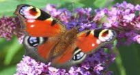 image of butterfly on buddleia or butterfly bush