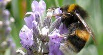 image of bee on ceanothus