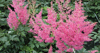 image of Astilbe