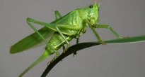 image of grasshopper