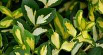 image of Euonymus fortunei 'Blondy' –   Spindle