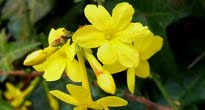image of Jasminum nudiflorum –   Winter Jasmine