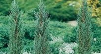 image of Juniperus scopulorum 'Blue Arrow' –   Blue Arrow Juniper