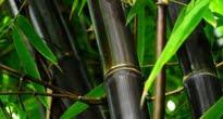 image of Phyllostachys nigra –   Black Bamboo