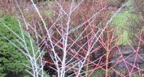 image of Rubus thibetanus –   Ghost Bramble