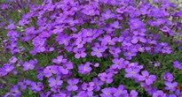 image of aubretia