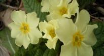 image of primula vulgaris