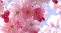 image of prunus or cherry blossom