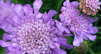 image of Scabiosa
