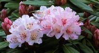 image of Azaleas