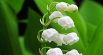 image of Convallaria magalis 'Lily of the Valley'