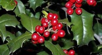 image of Ilex or Holly