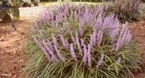 image of Liriope muscari –   Lilyturf