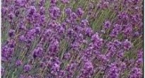 image of Common lavender