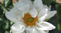 image of Anemone japonica 'Whirlwind'