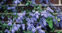 image of Ceanothus 'Autumnal Blue'