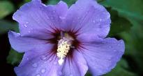 image of Hibiscus syriacus 'Blue Bird'