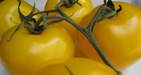 image of yellow tomatoes