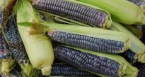 image of blue sweetcorn