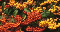 image of Pyracantha