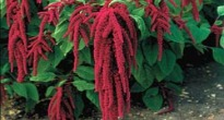 image of Amaranthus