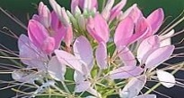 image of Cleome